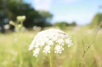 ozark_flower_1