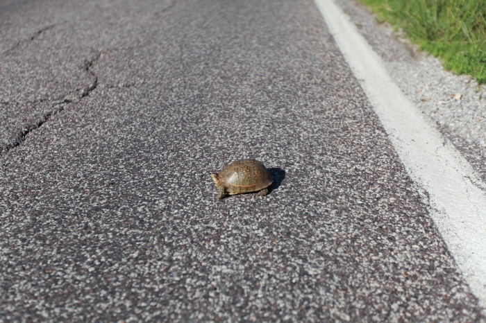 A turtle saved in honor of Bill and Kathleen, who are three days ahed of us and providing great intel for each day.