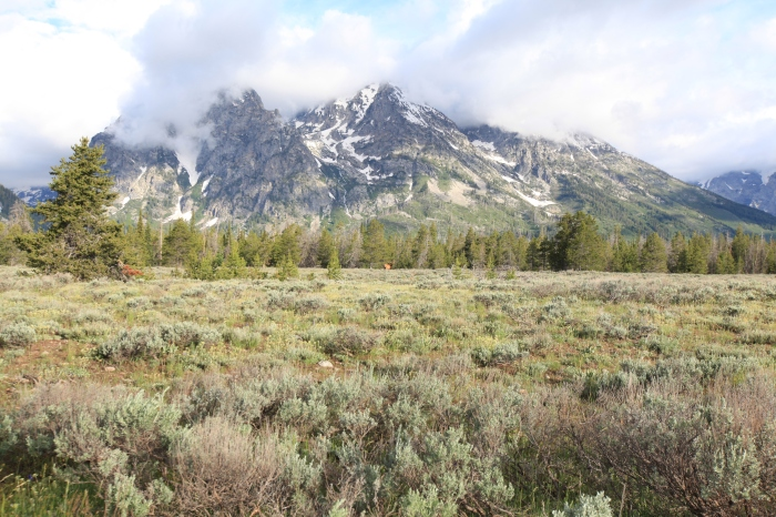 A Stag Elk in the foreground and Rockchuck mountain in the background -- Grand Teton National Park, WY