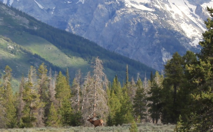 Closeup of the Stag-- Grand Teton National Park, WY
