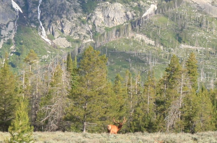 Another Closeup of the Stag. -- Grand Teton National Park, WY