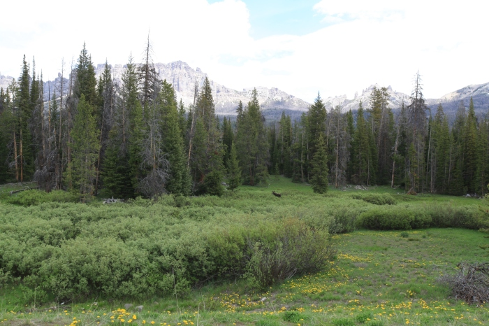 A moose near Togwotee Pass, WY