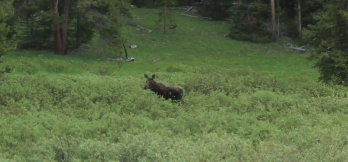 Closeup of a moose near Togwotee Pass, WY