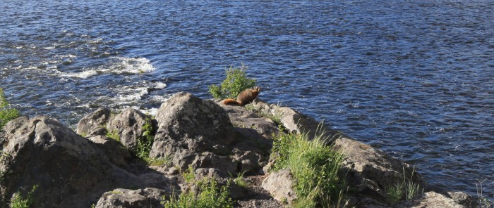 A woodchuck -- Yellowstone National Park