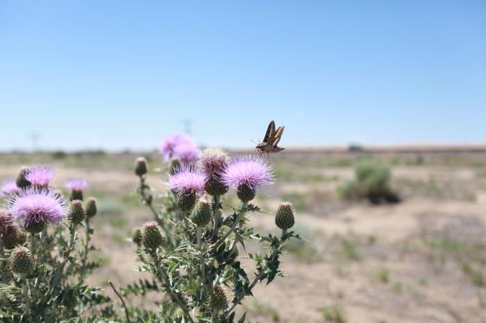 Hummingbird on a flowering Cactus -- Arlington, CO