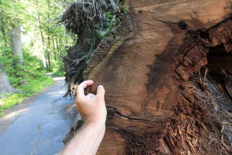 At Devoto Cedar Grove. My fingers span 37 rings. —Clearwater National Forest, ID