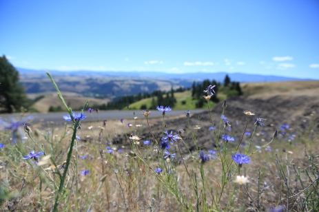 Purple flowers at the top of the Lamb's Grade climb. --Stites,ID.