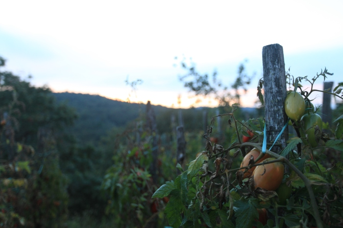 The best tomatoes on God's green Earth -- at Livernano