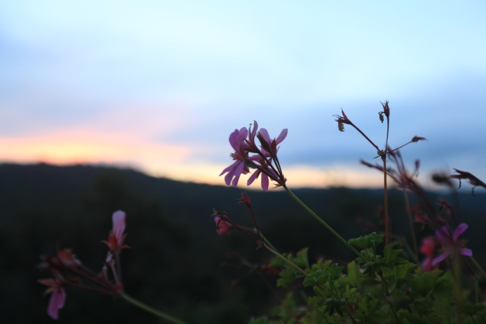 Flowers at sunset --Livernano, Radda in Chianti, Italy